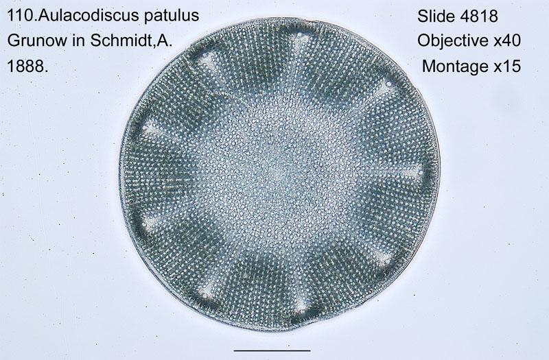 110 Aulacodiscus patulus