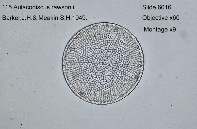 115 Aulacodiscus rawsonii