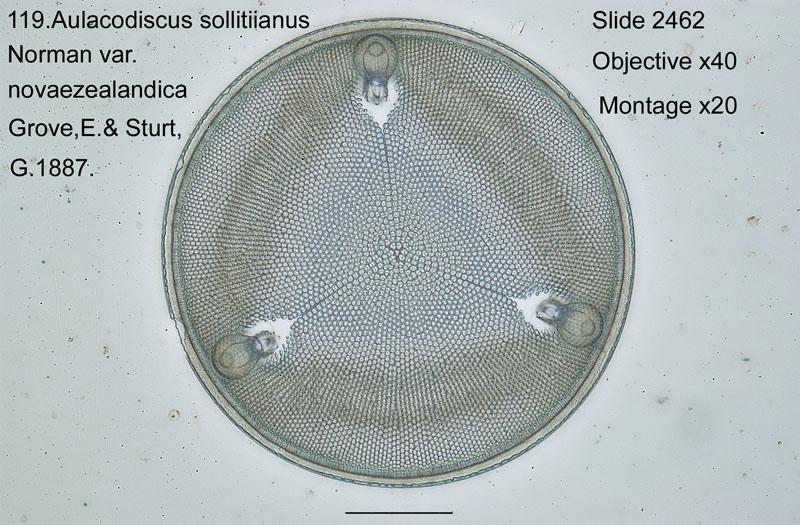 119 Aulacodiscus sollitiianus