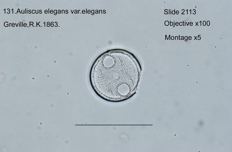 131 Auliscus elegans