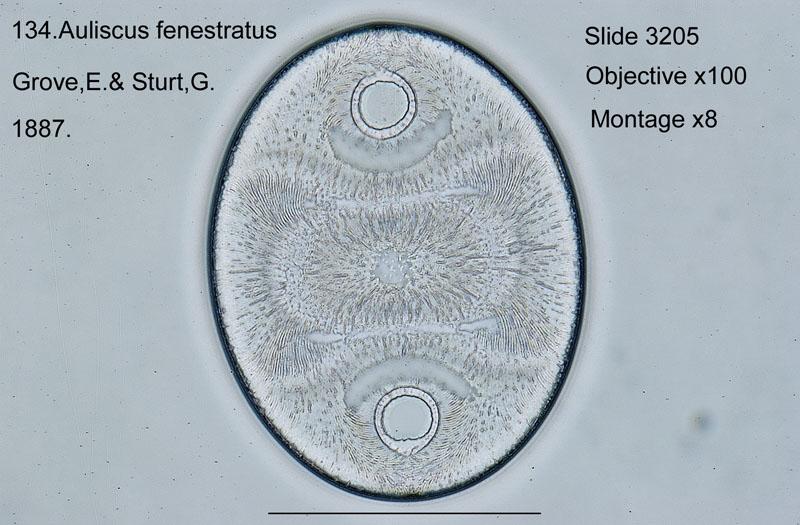 134 Auliscus fenestratus