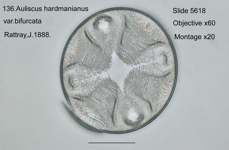 136 Auliscus hardmanianus var. bifurcatus