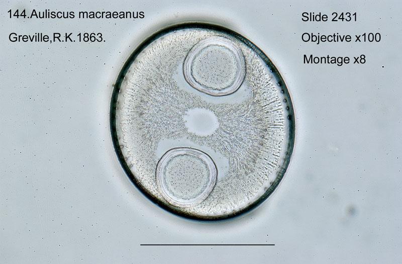 144 Auliscus macraeanus