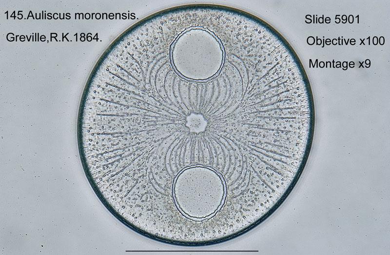 145 Auliscus moronensis