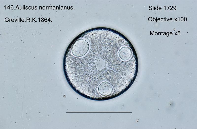 146 Auliscus normanianus