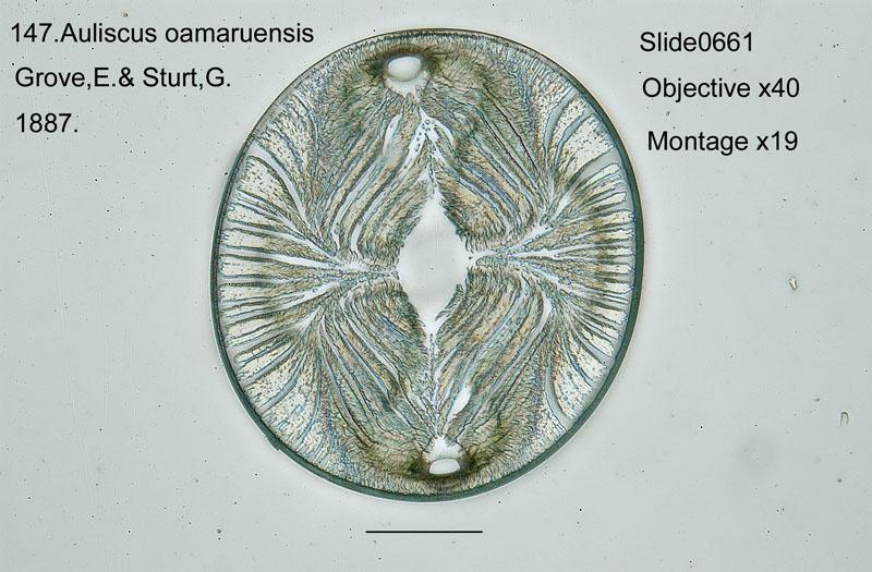 147 Auliscus oamaruensis