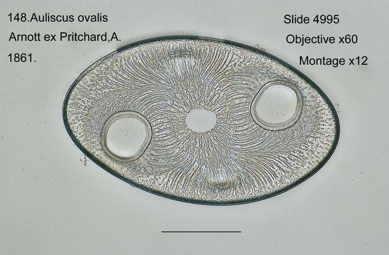148 Auliscus ovalis