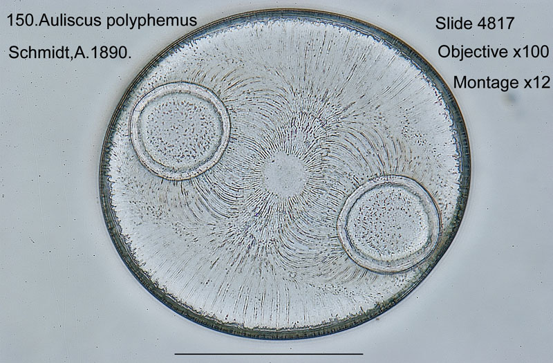 150 Auliscus polyphemus