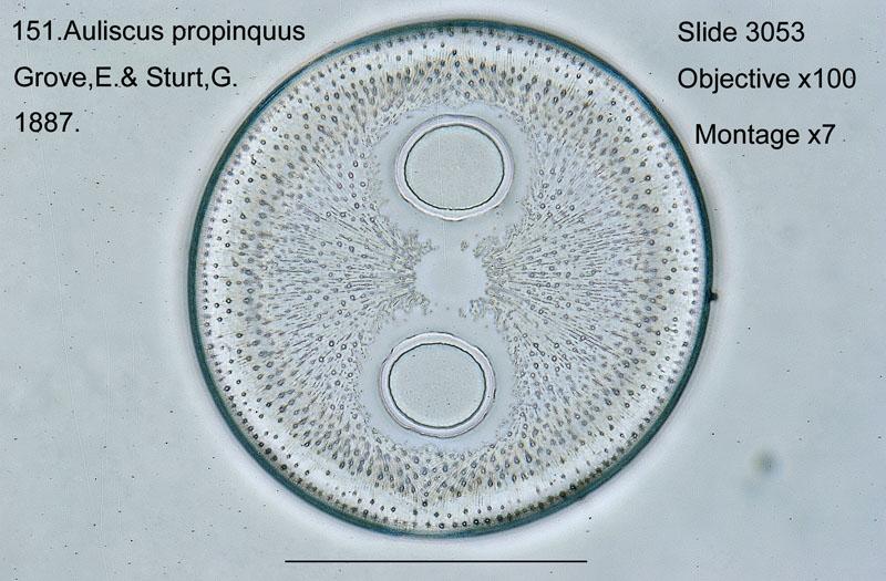 151 Auliscus propinquus
