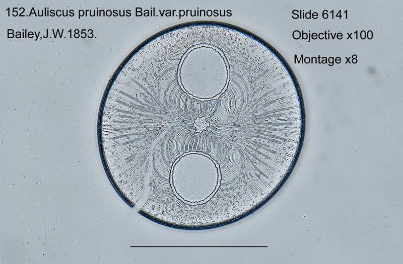 152 Auliscus pruinosus