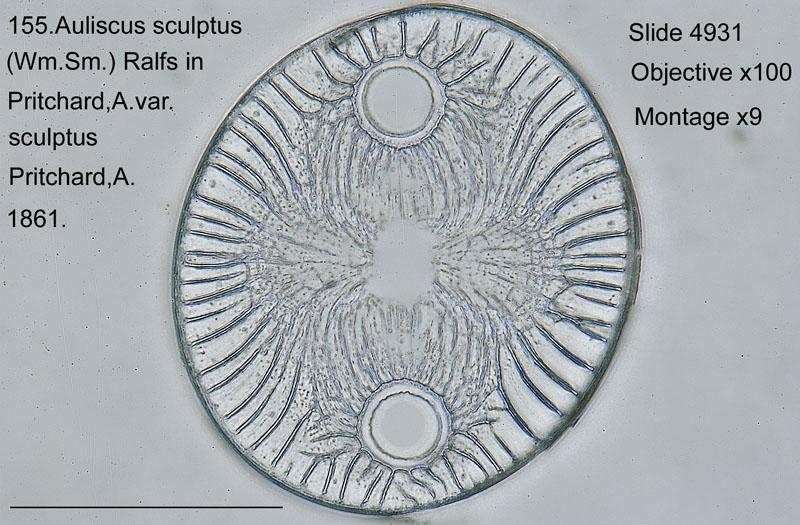 155 Auliscus sculptus