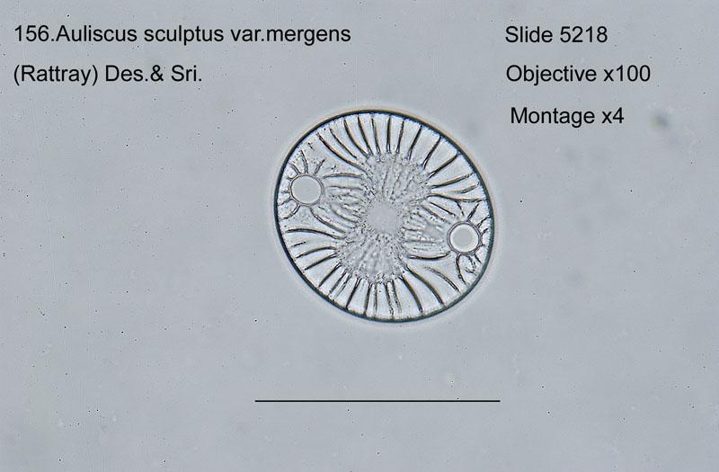156 Auliscus sculptus var. mergens