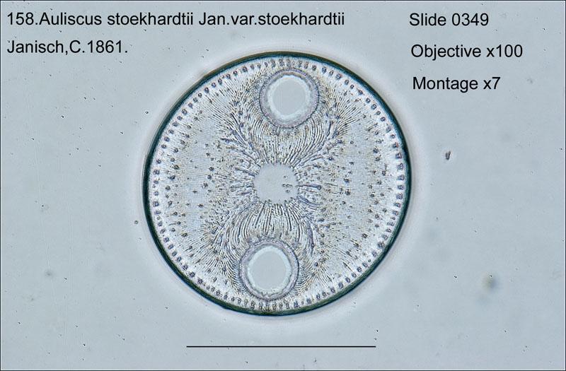 158 Auliscus stoeckhardtii