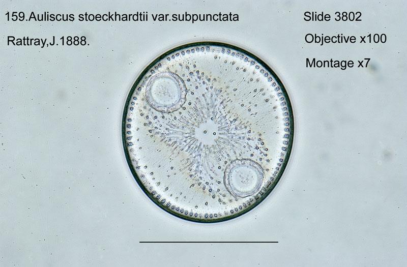 159 Auliscus stoeckhardtii var. subpunctata