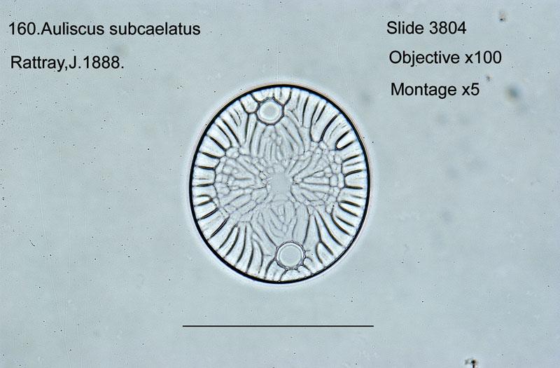 160 Auliscus subcaelatus