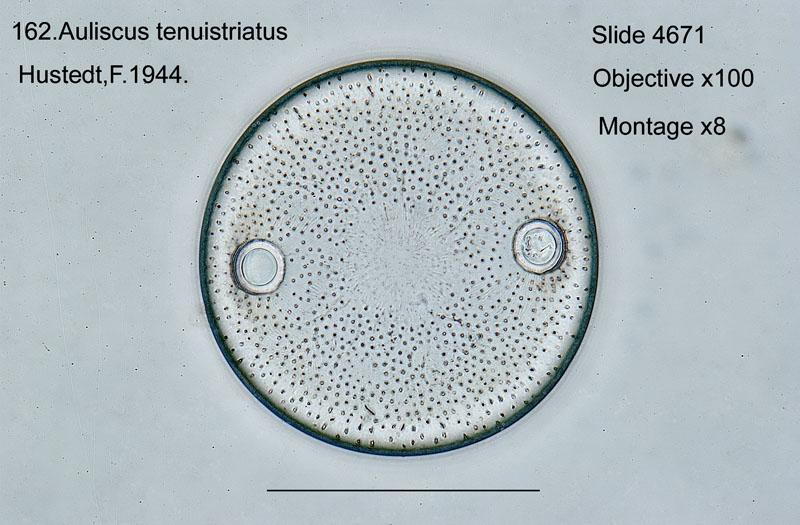 162 Auliscus tenuistriatus