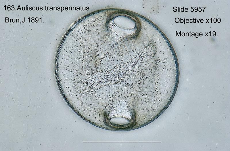 163 Auliscus transpennatus