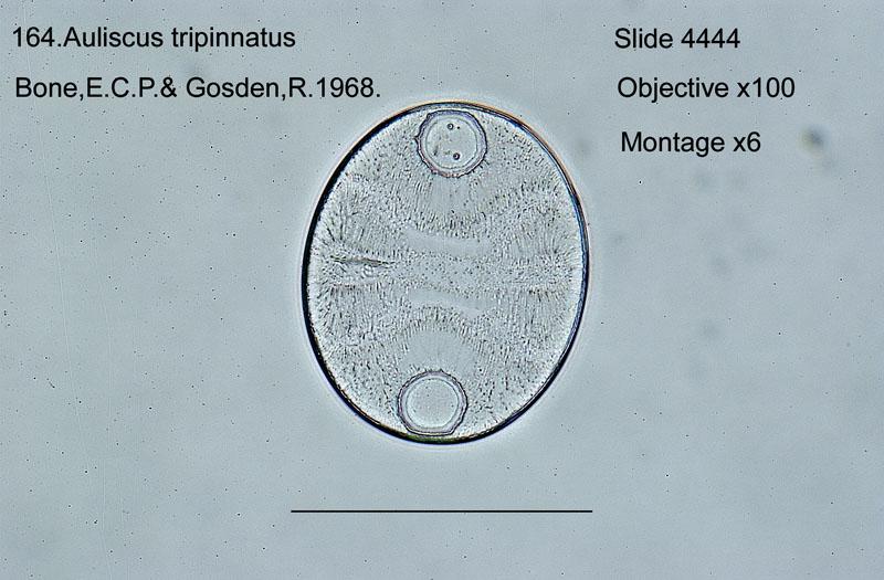 164 Auliscus tripinnatus