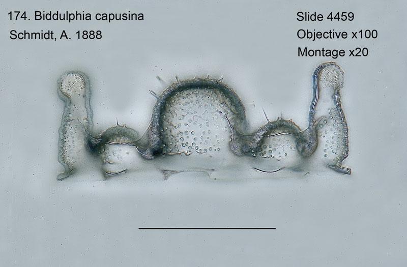 174 Biddulphia capusina