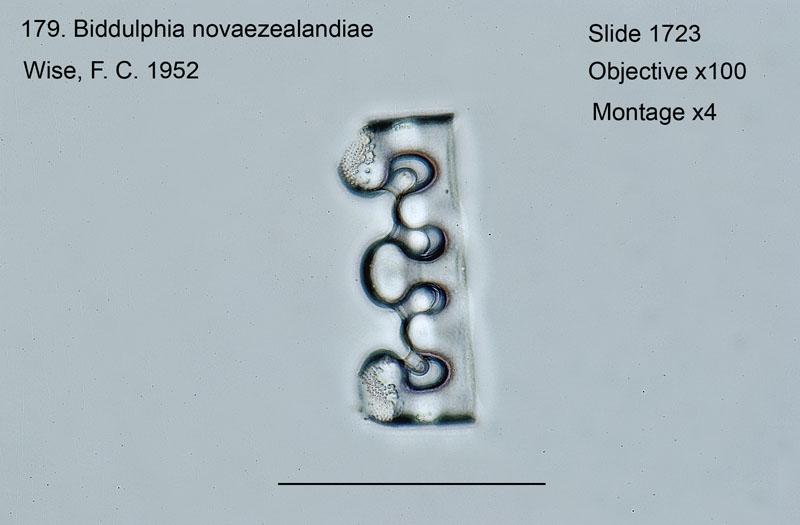 179 Biddulphia novaezealandiae Girdle view