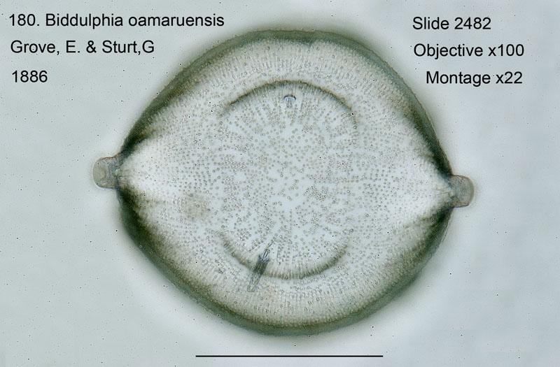 180 Biddulphia oamaruensis