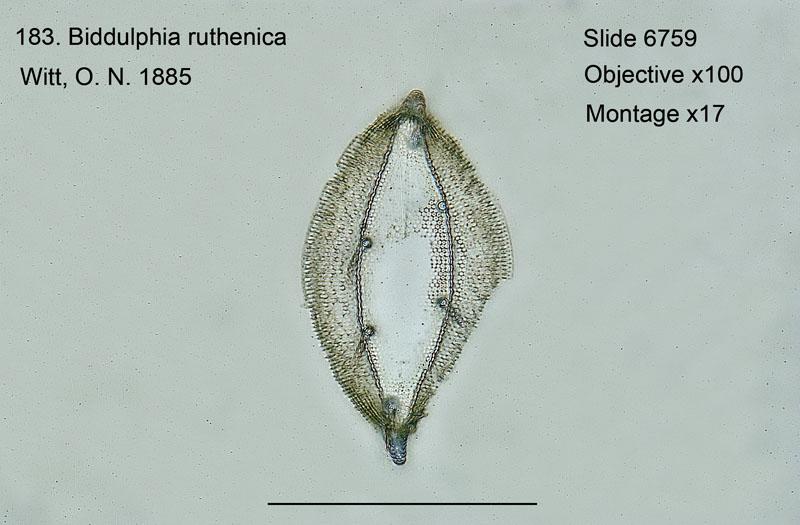 183 Biddulphia ruthenica