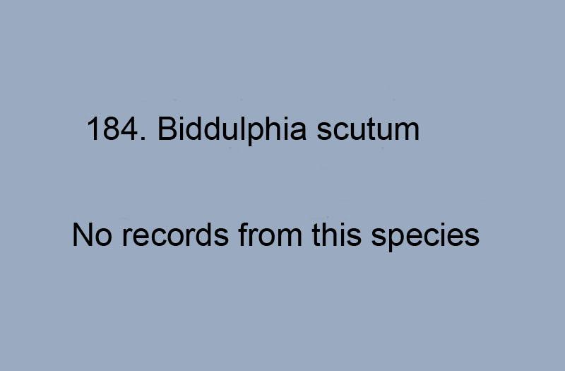184 Biddulphia scutum