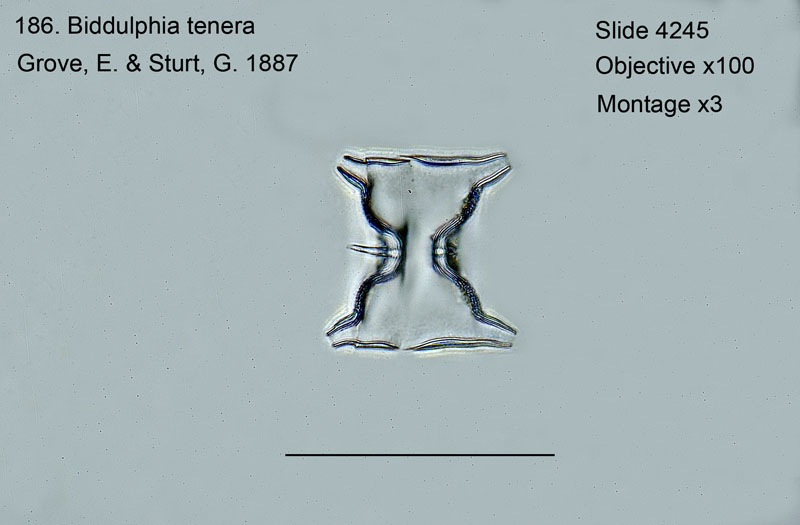 186 Biddulphia tenera Girdle view