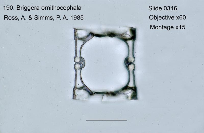 190Briggera ornithocephala Girdle view