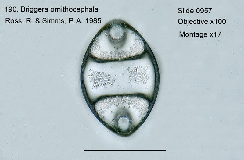 190Briggera ornithocephala Valve view