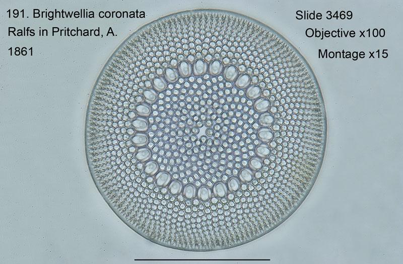 191Brightwellia coronata