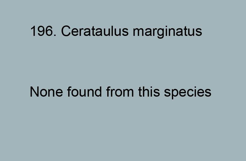 196. Cerataulus marginatus