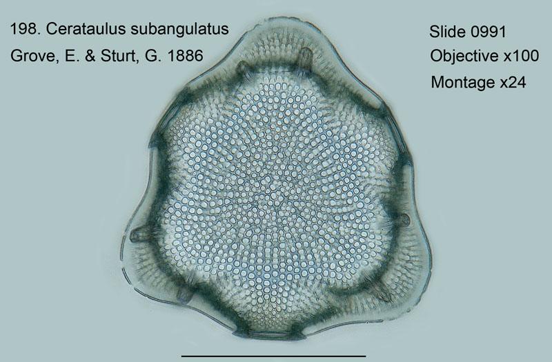 198. Cerataulus subanglulatus