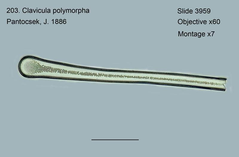 203. Clavicula polymorpha