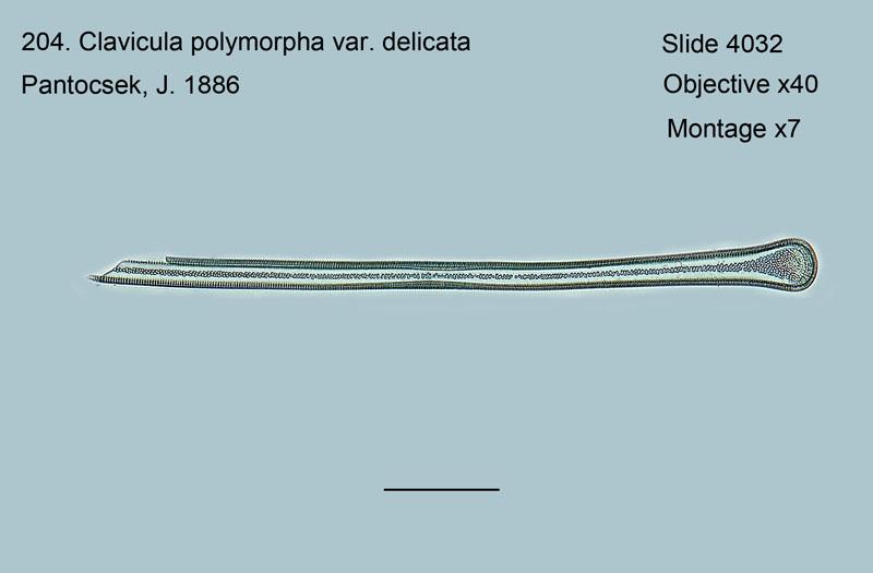 204. Claviculs polymorpha var. delicata