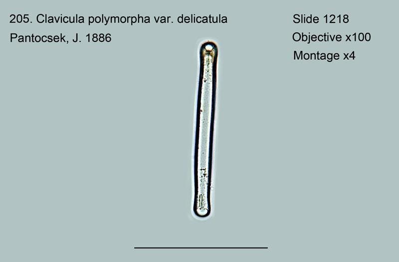 205. Clavicula polymorpha var. delicatula