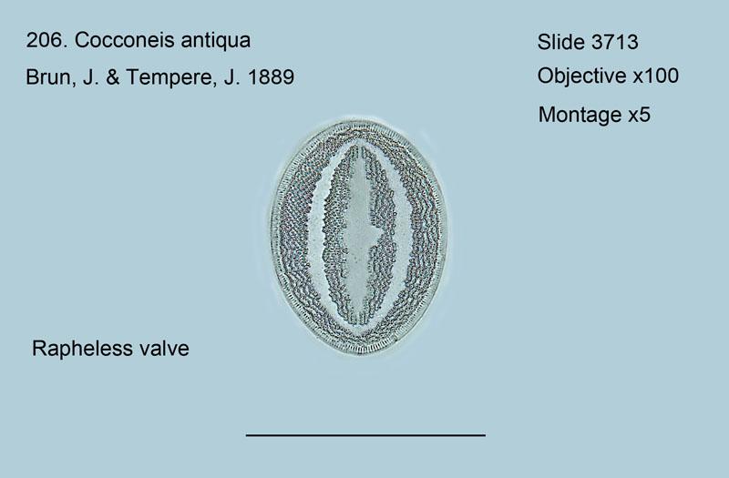 206. Cocconeis antiqua Rapheless valve