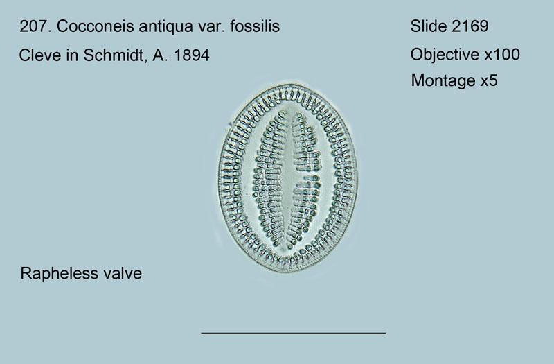 207. Cocconeis antiqua var. fossilis Rapheless valve