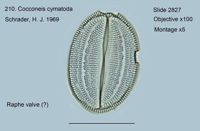 210. Cocconeis cymatoda Raphed valve
