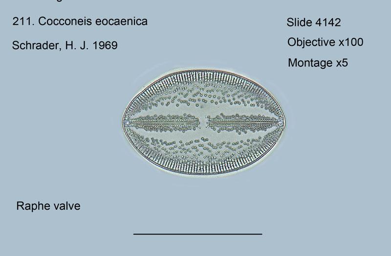 211. Cocconeis eocaenica Raphed valve