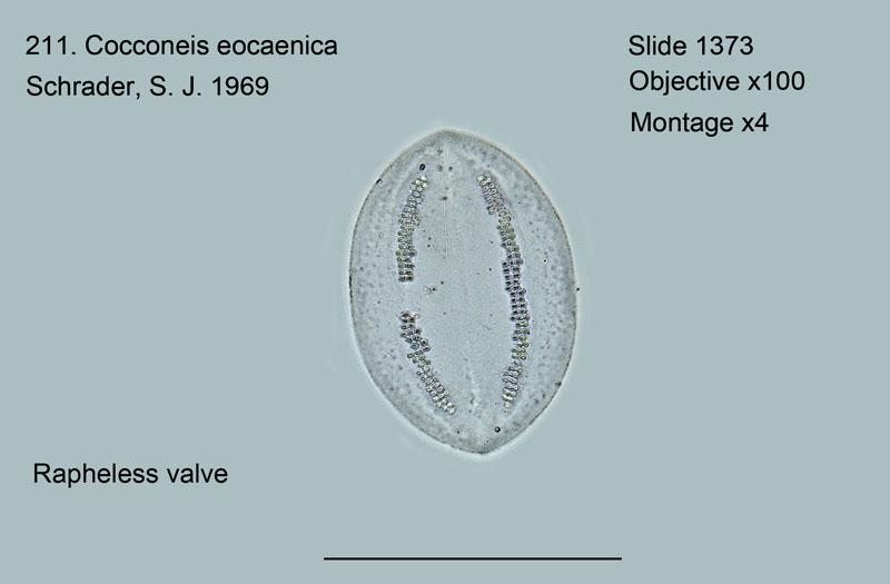 211. Cocconeis eocaenica Rapheless valve