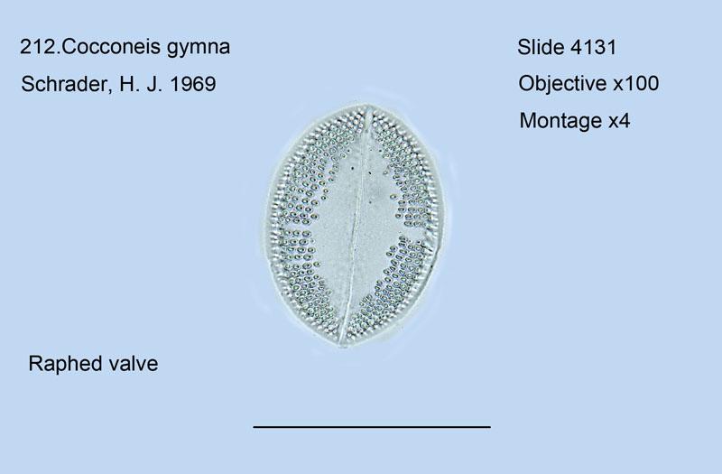 212. Cocconeis gymna Raphed valve
