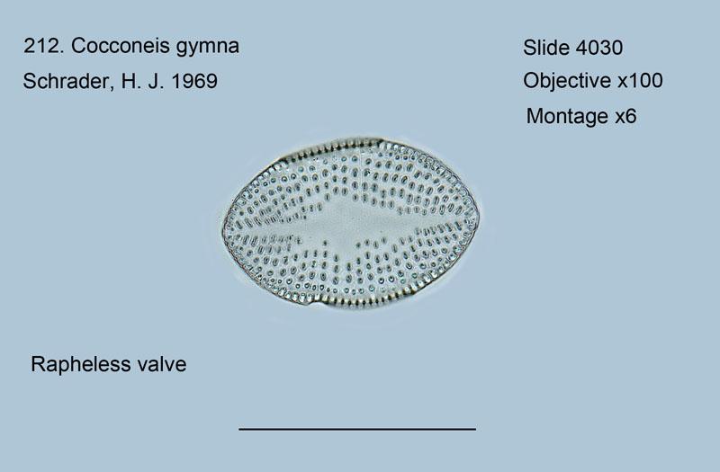 212. Cocconeis gymna Rapheless valve