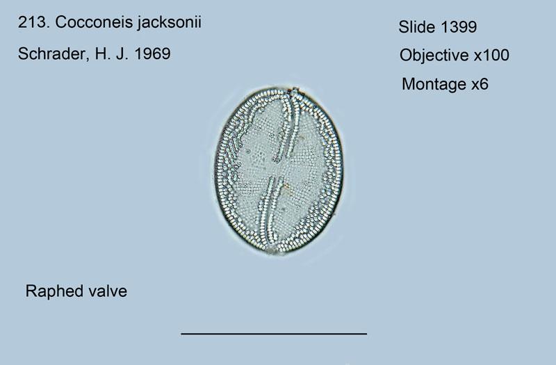 213. Cocconeis jacksonii Raphed valve