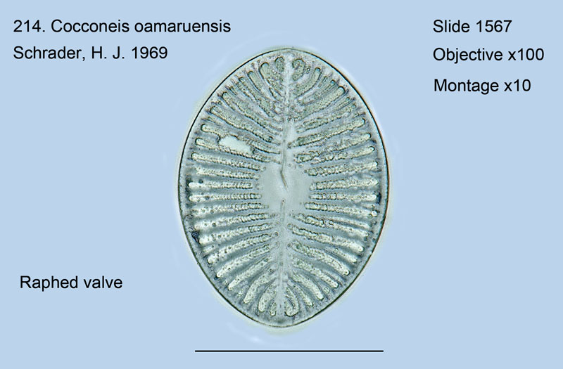 214. Cocconeis oamaruensis Raphed valve