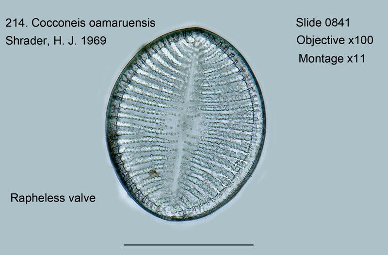 214. Cocconeis oamaruensis Rapheless valve