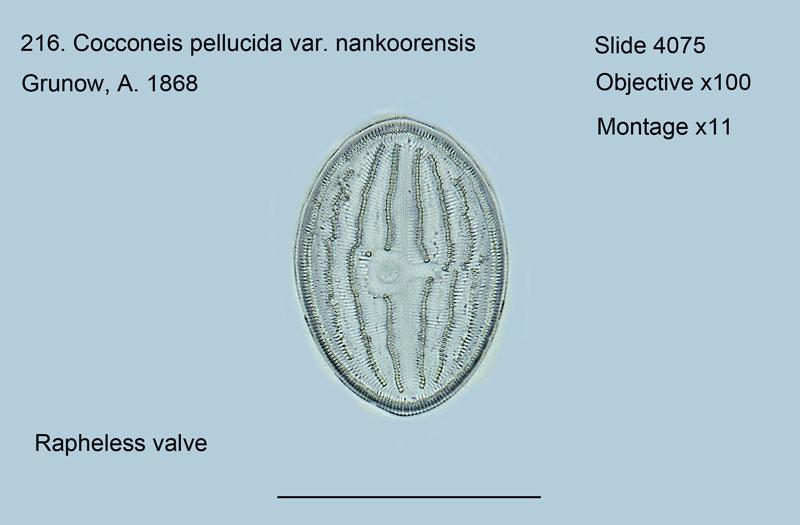 216. Cocconeis pellucida var. nankoorensis Rapheless valve
