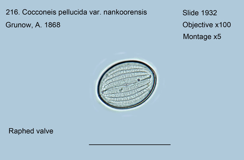 216. Cocconeis pellucida var. nankoorensis Raphed valve