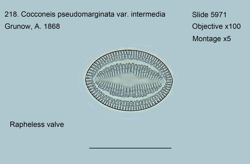 218. Cocconeis pseudomarginats var. intermedia Rapheless valve