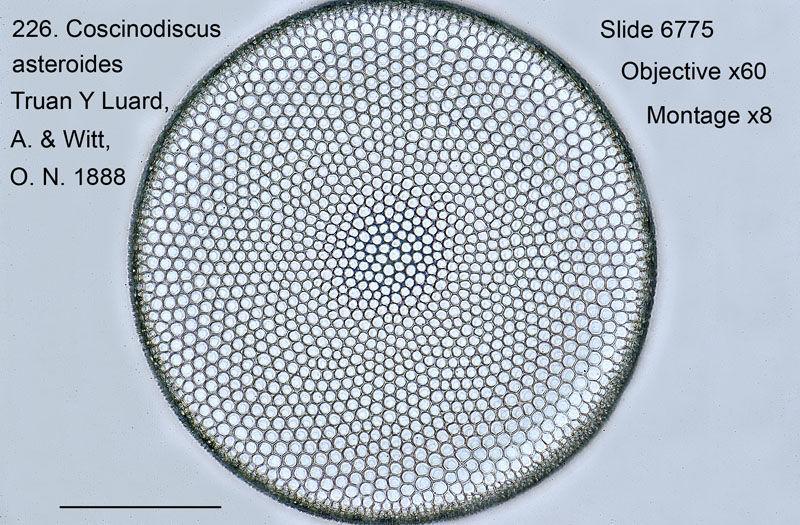226. Coscinodiscus asteroides